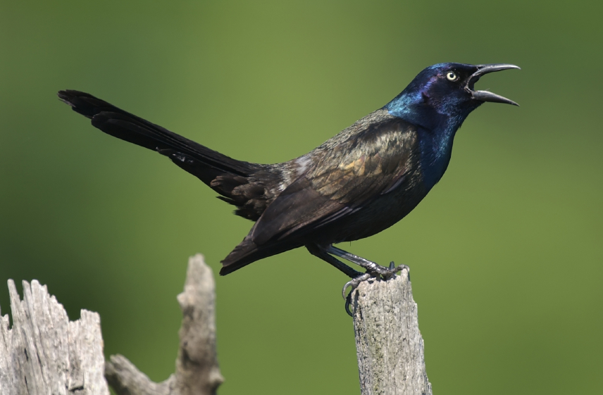 What Birds Have Black Bodies And Blue Heads 74