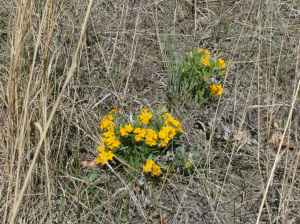 Hoary puccoon along the trail to Spirit Sands